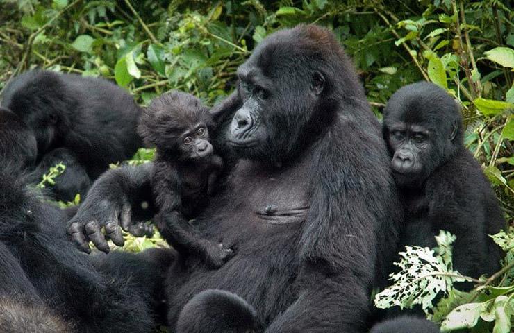 2days-gorillas