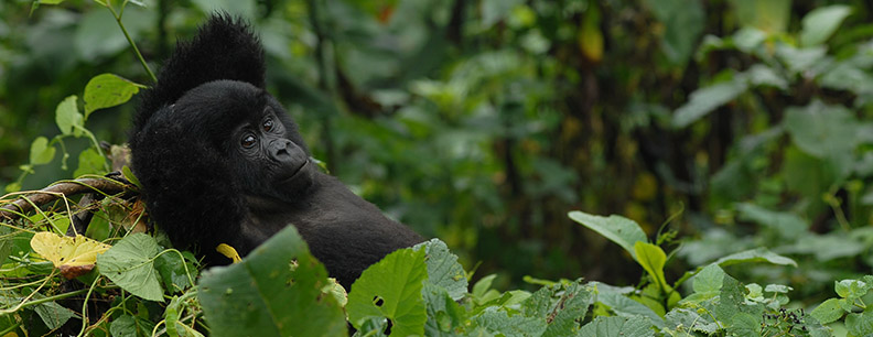 Uganda Gorilla safari tour