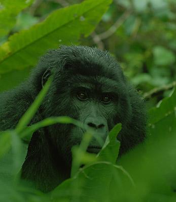 gorilla-Safaris-uganda